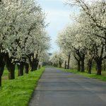 Będzie więcej tradycyjnych drzew